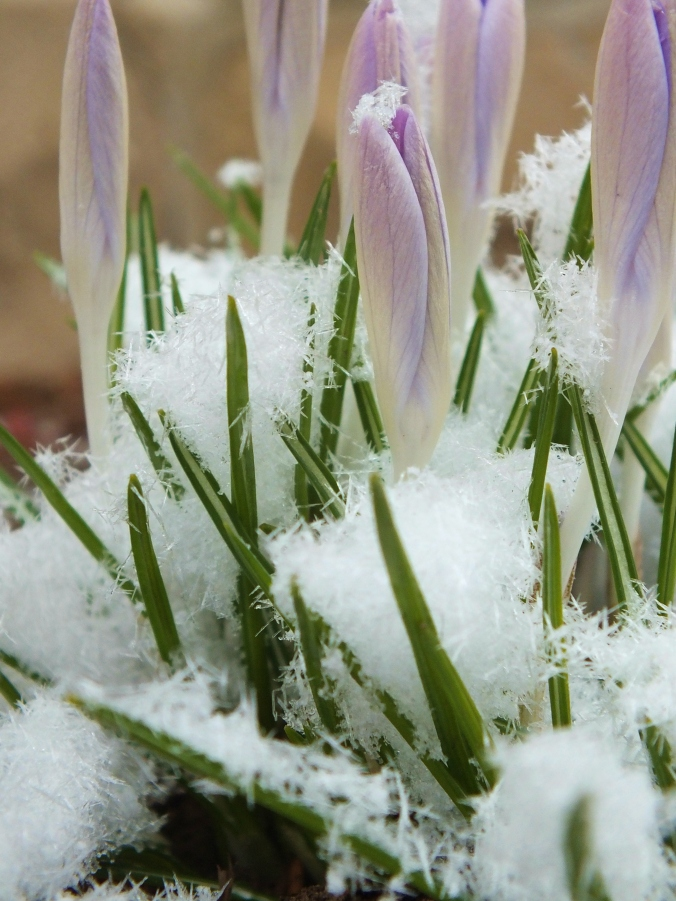 snow on crocus 2
