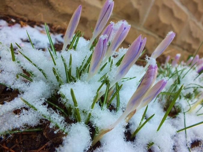 snow on crocus
